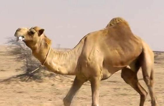 Video: Camel Racing