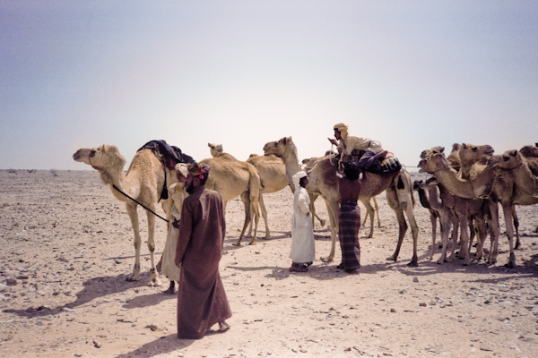 Popular Camel Caravan  Nomads In Oman