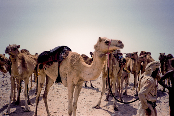 Beautiful Camel Caravan In Desert Camel Caravan In The Morocco