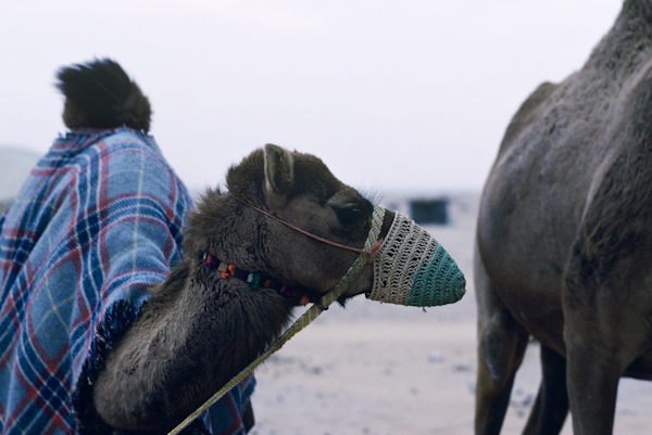 Camel with mouth muzzle