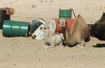 Camels and oil barrels