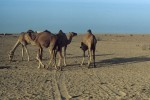 Camels playing