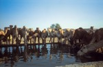 Ghubbar well and thirsty camel herd