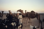 Hand feeding camels and goats