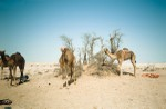 Lactating camels kept near the household for milking