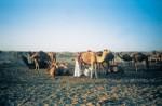 Milking camels at sunset