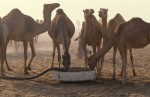 Watering camels